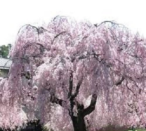 Grow Your Own Japanese Maple Trees(Weeping cherry)
