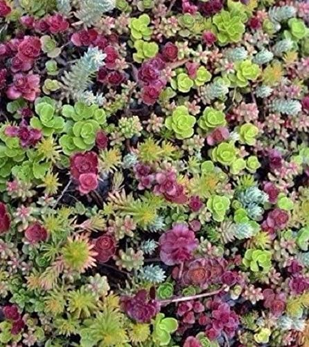 Amazon Com Ground Cover Sedum Mixed 100 Seeds Succulents