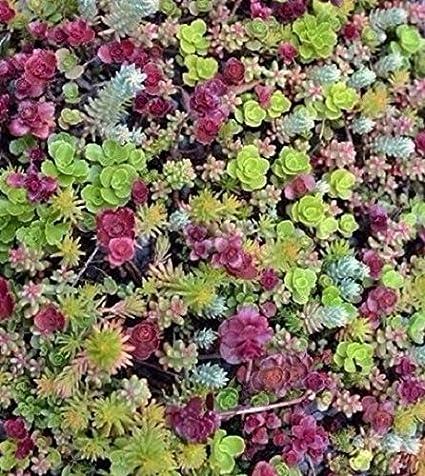 Amazon Com Ground Cover Sedum Mixed 100 Seeds Succulents