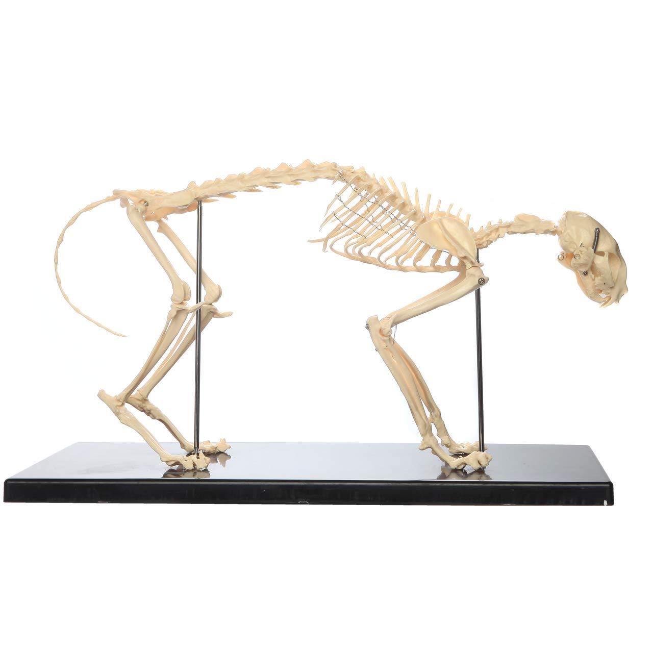 Anatomy Lab Feline Skeleton Model Fixed Articulation on Base