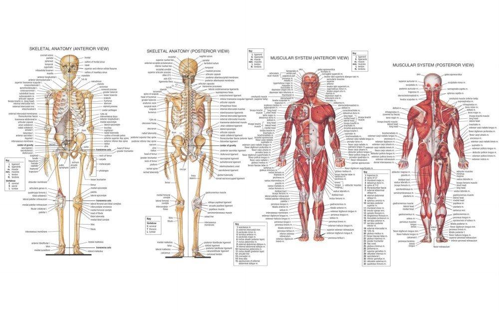 Amazon Der Museum Steckdose Charts Von Hb Skelett Muscal