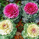 Ornamental Kale Mixed Colors Brassica Oleracea Ornamental Kale Ornamental Brassicas Seeds 30+ Organic Plant Flower for Bonsai Home Garden Yards Planting