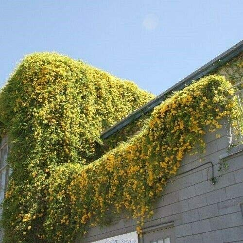 1 Packet of 30 Seeds Cat's Claw Creeper Vine/Bignoniaceae/Dolichandra Unguis-Cati