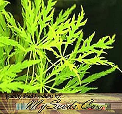 Amazoncom 10 X Green Lace Leaf Japanese Maple Acer Palmatum