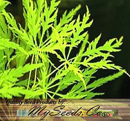 10 x Green Lace Leaf Japanese Maple - ACER palmatum matsumurae Dissectum SEEDS - Quality Seeds By MS.CO ()
