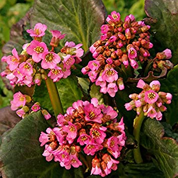Wayside Gardens Eden S Dark Margin Bergenia 1 Quart