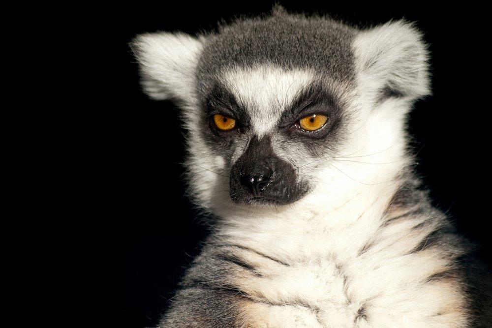 Ring Tailed Lemur Up Close 36 x 54 Giclee Print LANT-49431-36x54 36 x 54 Giclee Print  B017EA7BJ6