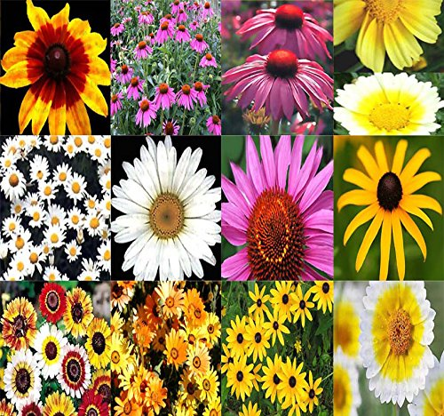 BIG PACK - (20,000) DAISY Crazy Mixed Daisies Flower Seeds - By MySeeds.Co (BIG PACK DaisyMix)