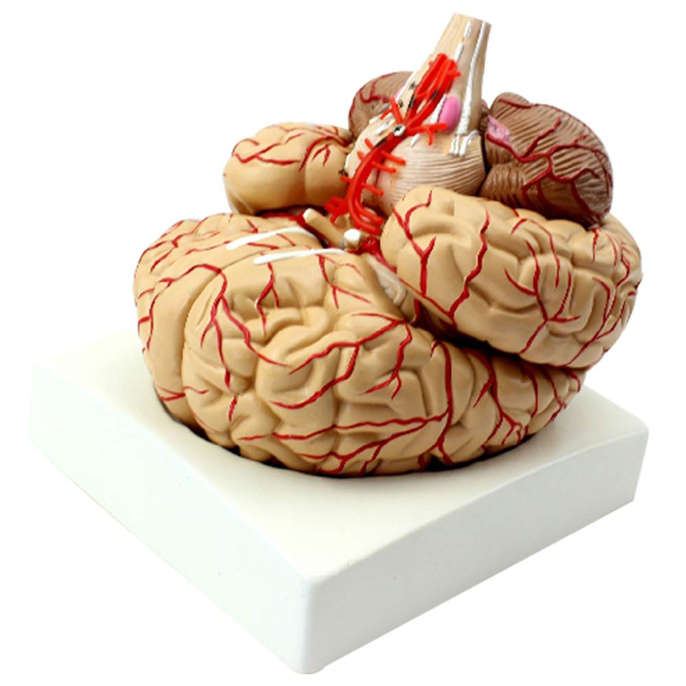 Human Brain Anatomical Model with Cerebral Artery and Nerve 9 Parts for Medical Teaching BESYmodel