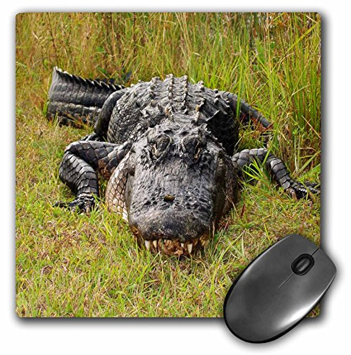 3dRose LLC 8 x 8 x 0.25 Inches Mouse Pad, Even Larger Florida Gator (mp_62494_1)