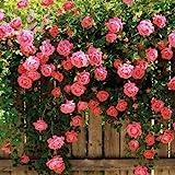 100 pcs pink Climbing Rose Seeds ariety Rare Plant Exotic Succulent Seed Flowering Pot Climbing Home Garden