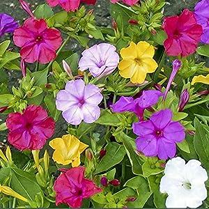 B/H Giardino Semi Pianta Ornamentale,Splendidi Semi di Fiori di Gelsomino Viola, Decorazione del Giardino del Cortile… 61WelSjFvCL. SS300