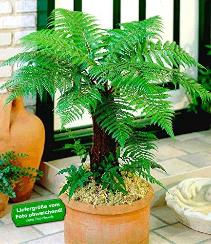 BALDUR-Garten Baumfarn im 9 cm-Topf 1 Pflanze Dicksonia antarctica Palmfarn australischer Baumfarn