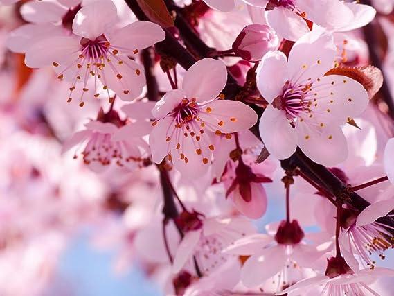 Amazon 10 japanese flowering cherry blossom bonsai seeds amazon 10 japanese flowering cherry blossom bonsai seeds exotic rare sakura bonsai seeds garden outdoor mightylinksfo