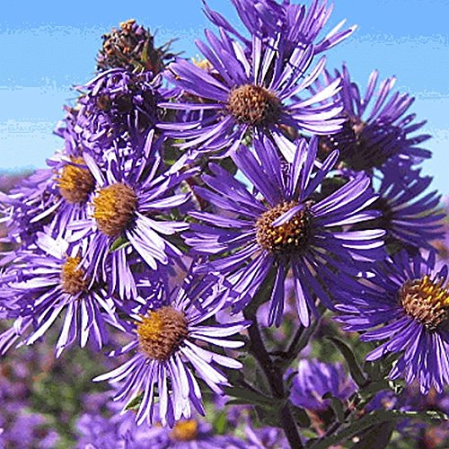 Everwilde Farms - 1750 New England Aster Native Wildflower Seeds - Gold Vault Jumbo Seed ()