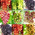 KOUYE GardenSeeds- Rainbow Grape Seeds Fruit Seed Vine Seed Hardy/Perennial Grape Seeds Rare Species Bonsai Fruit Seeds for Home Garden Planting