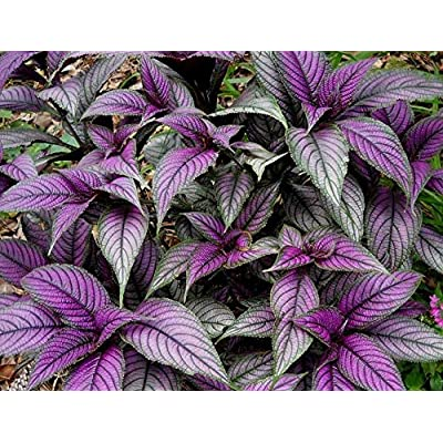 "Persian Shield Live Plant - Strobilanthes - Inside/Out Fit 6"" Pot : Garden & Outdoor"