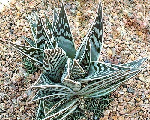 10 agave Hurteri semi Seeds no Cactus aloe Haworthia
