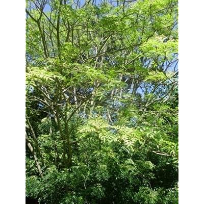 25 KOREAN PEPPERTREE PRICKLY ASH Zanthoxylum schinifolium var. subinermis : Garden & Outdoor