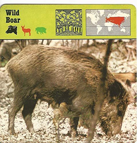 1975 Editions Rencontre, Animals Card, 12.266 Wild Boar