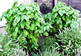 50+ ORGANICALLY GROWN GIANT Mammoth Basil Seeds Heirloom NON-GMO Fragrant, Delicious and Flavorful, From USA