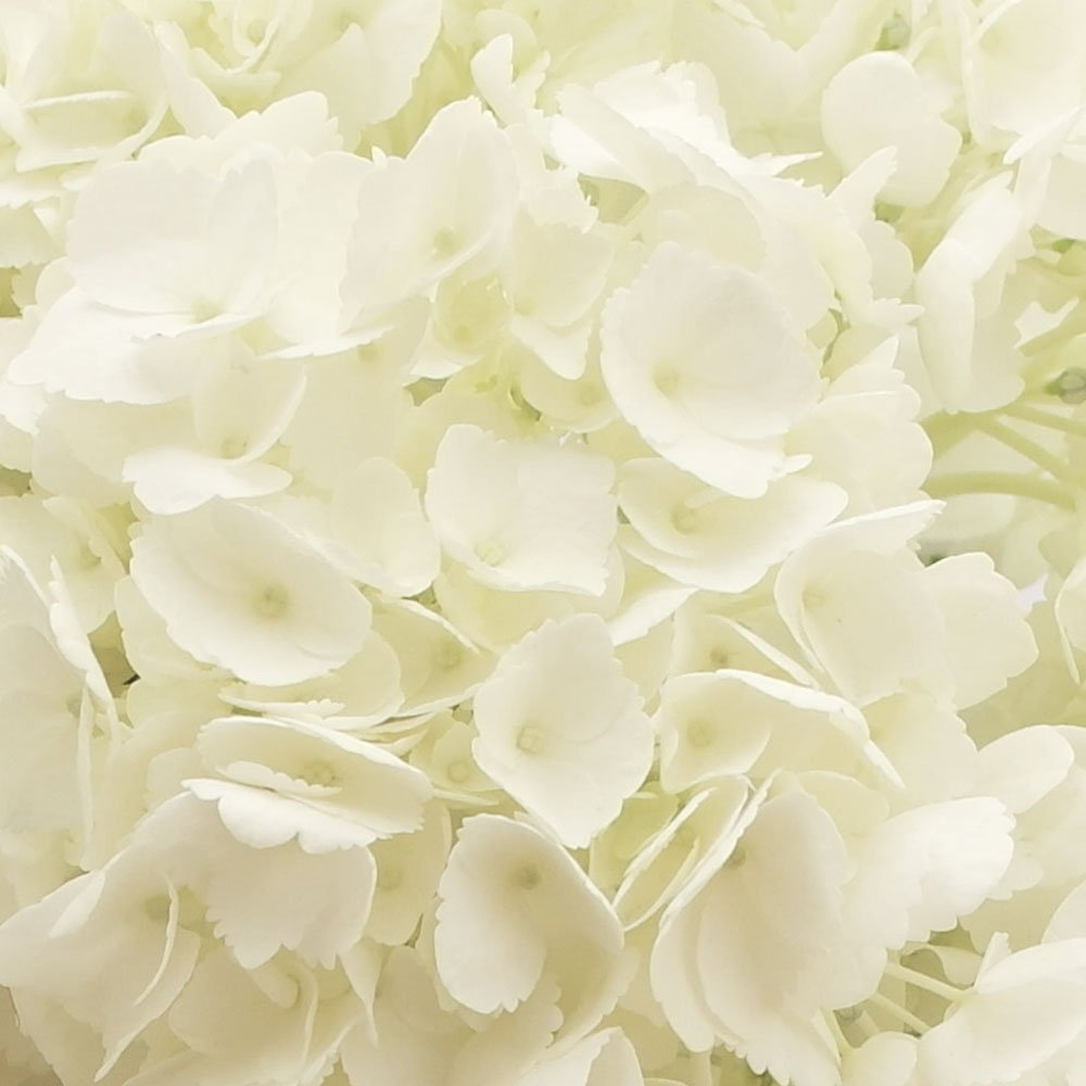 GlobalRose 10 Fresh Cut White Hydrangeas - Fresh Flowers For Weddings or Anniversary. by GlobalRose (Image #4)