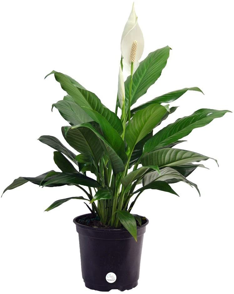 Amazon.com: Costa Farms Peace Lily, Spathiphyllum, Live ... on peace lily family plant, chinese evergreen house plant, droopy peace lily plant, funeral peace lily plant, peace lily potted plant, peace lily plant benefits, classic peace lily plant, black bamboo potted plant, white and green leaves house plant, croton house plant, peace plant brown leaves, dragon plant, holly house plant, zamiifolia house plant, problems with peace lily plant, weeping fig house plant, marginata house plant, artificial bamboo house plant, black gold lily plant, pineapple plant house plant,