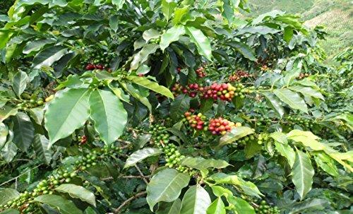 Colombian Green Unroasted Coffee Beans 3- Pounds Single Origin Farm La Beatulia