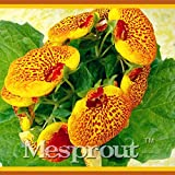 50 Seeds Slipper Flower Calceolaria Herbeohybrida Fascination Flower Seeds Calceolarias Flower 1 #32705492454ST