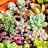 150pcs Mixed Succulent Seeds Lithops Rare Living Stones Plants Cactus Pot Plant