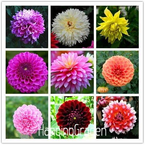 AGROBITS Jardin Type de fleur ordinale Yukako fleurs bonsa/Ã/¯ plantes bulbes de dahlia 84TJ8Q: 18 100 pcs flores 24 couleurs m/Ã/©lang/Ã/©es
