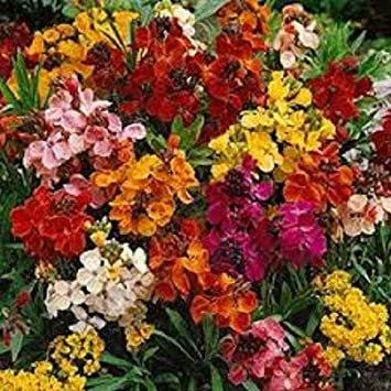 50 Wonderful Multicoloured 'Harlequin' Wallflowers (Bare Root)