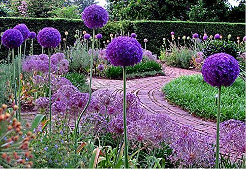 Higarden Giant Allium Globemaster Allium Giganteum Flower Seeds organic gorgeous flower ,Easy growing,long blossoming, 30 seeds/bag