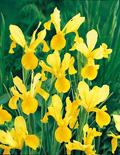 Giaggiolo hollandica Golden Harvest 10 bulbi Iris
