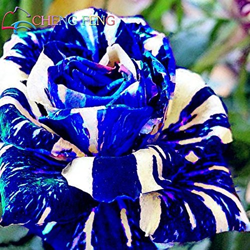 Blue Dragon Rose Bush Seeds - Rare & Beautiful (20+ pc) (Dragon Rose)