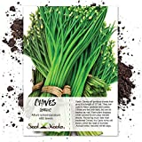 Package of 400 Seeds, Garlic Chives (Allium tuberosum) Non-GMO Seeds By Seed Needs