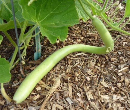 Cucuzzi (Italian Edible) Gourd Seed, much like summer squash (Edible Gourds)