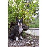 Hi-Line Gift Ltd. Boston Terrier Dog Garden Statue