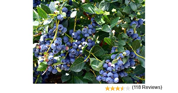 High Quality Amazon.com : Hirtu0027s Top Hat Dwarf Blueberry Plant   Bonsai/Patio/Outdoors :  Plant Seed And Flower Products : Grocery U0026 Gourmet Food