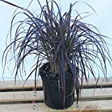 Pennisetum setaceum 'Rubrum', Purple Fountain Grass, Red Fountain Grass - 3 Gallon Live Plant - 4 pack