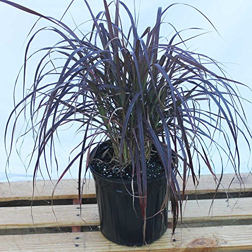 Pennisetum setaceum 'Rubrum', Purple Fountain Grass, Red Fountain Grass - 3 Gallon Live Plant - 4 pack by PlantVine