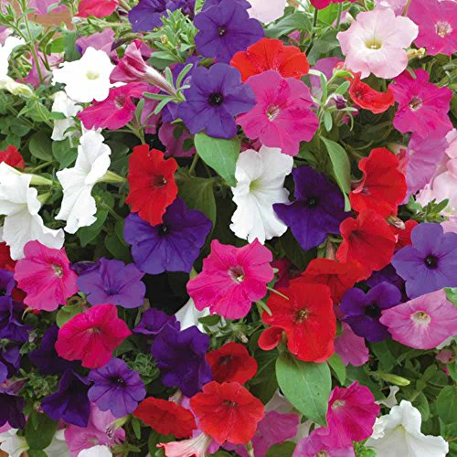 Butterfly Attracting Flower Selection List Collection Butterflies zellajake Bee (Petunia Dwarf Mix 500)
