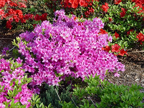 Azalea 'Karen' (Azalea) Shrub, lavender flowers, #3 - Size Container by Green Promise Farms (Image #4)