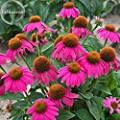 New Heirloom Echinacea 'Powwow' Wild Berry Coneflower Perennial Flowers, 100+ seeds, clusters of ornamental flowers E3851