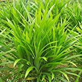 Latine Seeds 50Pcs Fragrant Grass Seeds Annual Pandan Flower Potted Home Garden Bonsai Plant Seeds Grasses (Fragrant Grass)