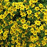 Bur Marigold (Bidens Aurea) Baskets Containers or Tumbling Over Wall -50 Seed