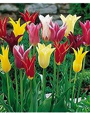 TULIPANI A COLORI ASSORTITI IN MISCUGLIO a fioritura primaverile - ALTA QUALITA' OLANDESE