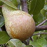 Birnenbaum Köstliche v. Charneux LH 160-180 cm, Birnen gelb, Halbstamm, stark wachsend, im Topf, Obstbaum winterhart, Pyrus communis