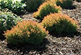 "Fire Chief Arborvitae - 4"" pot - Thuja occidentalis"