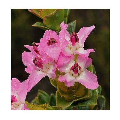 Saltera sarococolla Cape Fellwort Very Rare Tropical Plant Shrub Seeds 10 SeedsTF101 : Garden & Outdoor